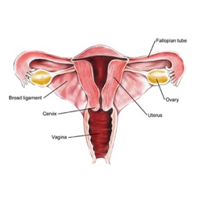 Human Female Reproductive System via Sjtu.edu