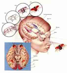 http://eyemakeart.files.wordpress.com/2009/07/eye-brain.jpg